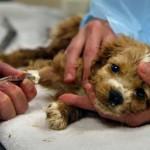 parvovirus štene